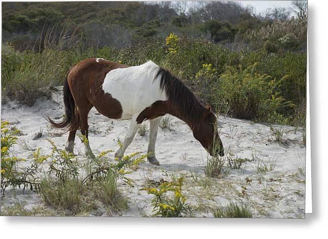 Horse And Dunes Asseteague Island Greeting Card