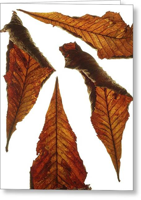 Horse Chestnut Leaves Greeting Card by Science Photo Library