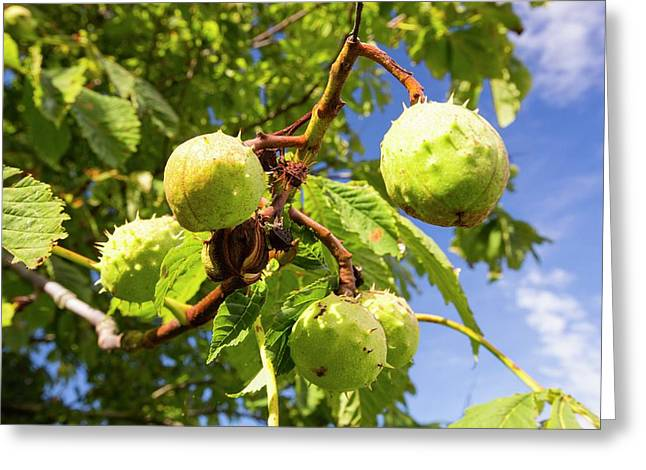 Horse Chestnuts Greeting Card by Ashley Cooper