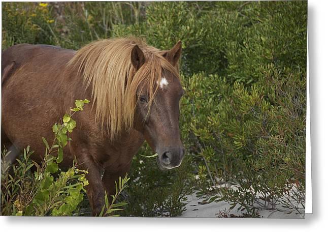 Horse In Asseteague Island Dunes Greeting Card
