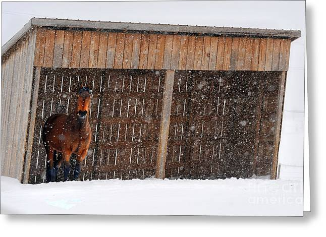 Horse Looking At Snow Storm Greeting Card by Dan Friend