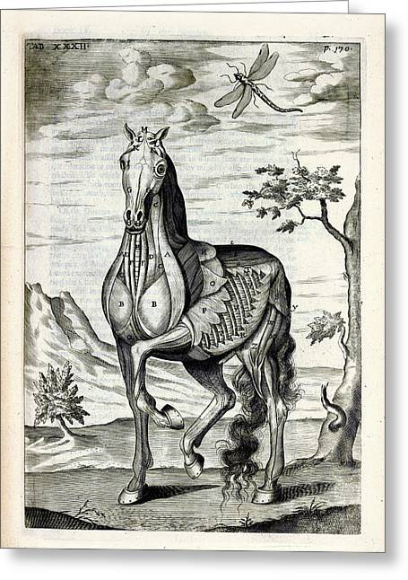 Horse Musculature Anatomy Greeting Card by National Library Of Medicine