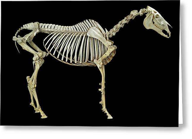 Horse Skeleton Greeting Card by Natural History Museum, London