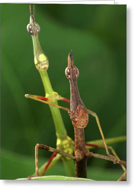 Horsehead Grasshoppers Greeting Card