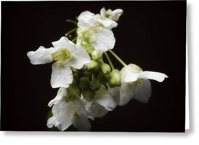 Horseradish Bloom Greeting Card