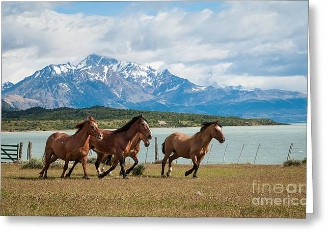 Horses Galloping In Patagonia Greeting Card by OUAP Photography