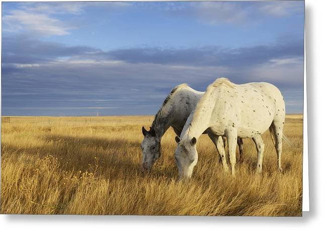Horses Grazing In Cypress Hills Greeting Card by Peter Carroll