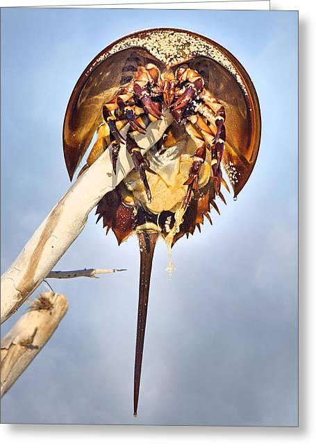 Horseshoe Crab Skeleton Greeting Card