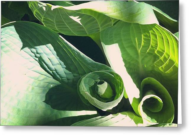 Hosta Curl Greeting Card by Stephanie Aarons