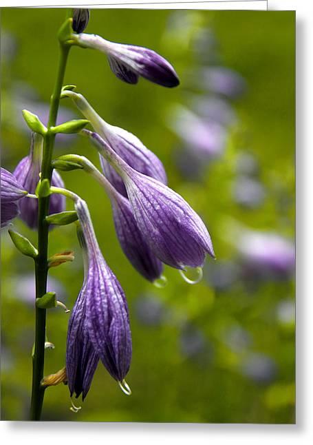 Hosta Flowers Greeting Card