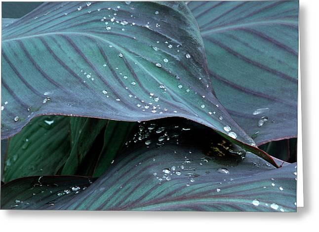 Hosta Leaf With Dew, Close-up Greeting Card