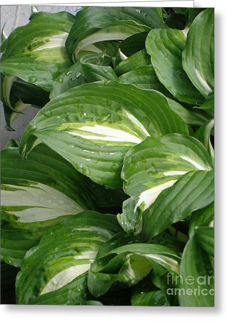 Greeting Card featuring the photograph Hosta Leaves After The Rain by Christina Verdgeline