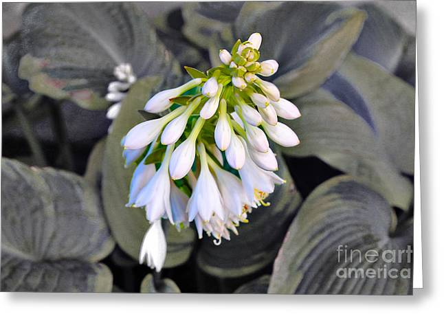 Hosta Ready To Bloom Greeting Card