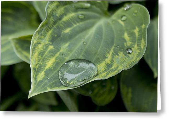 Hosta Greeting Card by Stephen Prestek