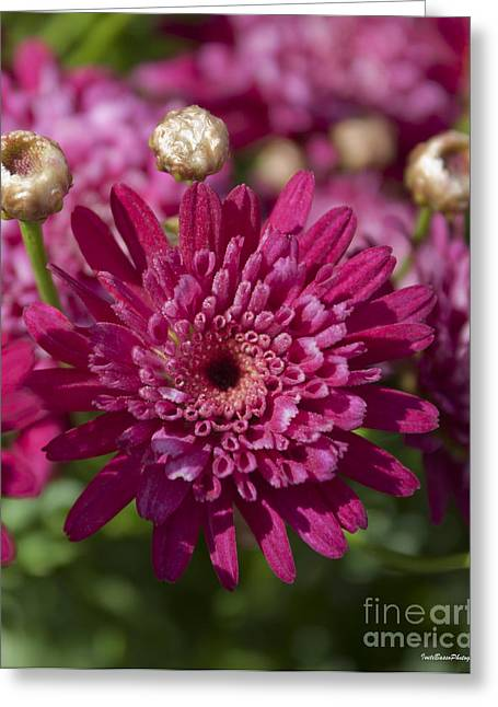 Hot Pink Chrysanthemum Greeting Card by Ivete Basso Photography