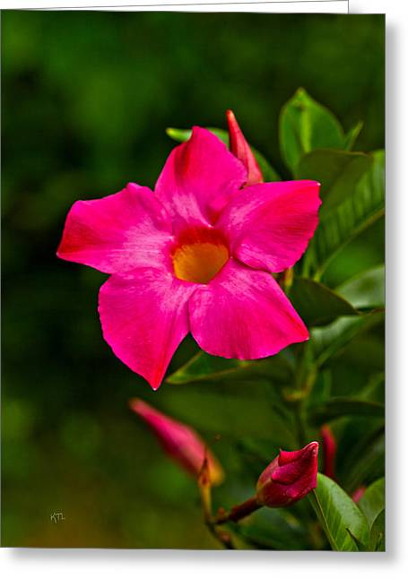 Hot Pink Dipladenia Greeting Card by Karol Livote