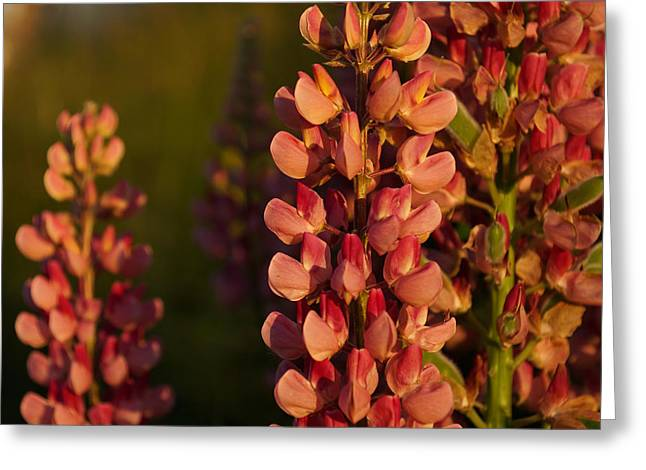 Hot Pink Lupines From My Mother's Garden - Take 2 Greeting Card by Georgia Mizuleva