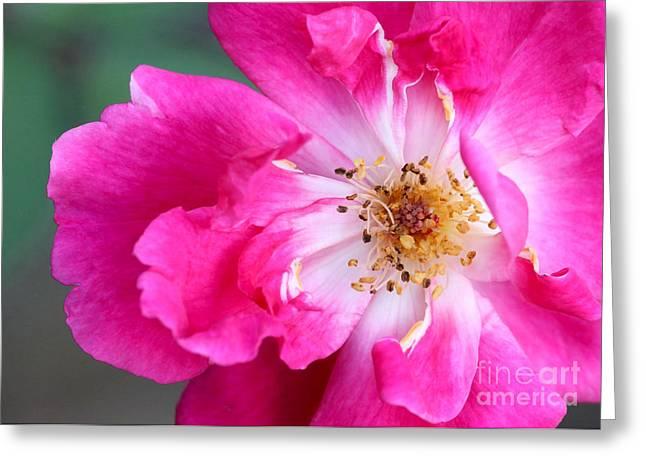 Hot Pink Rose Greeting Card by Sabrina L Ryan