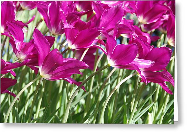 Greeting Card featuring the photograph Hot Pink Tulips 2 by Allen Beatty