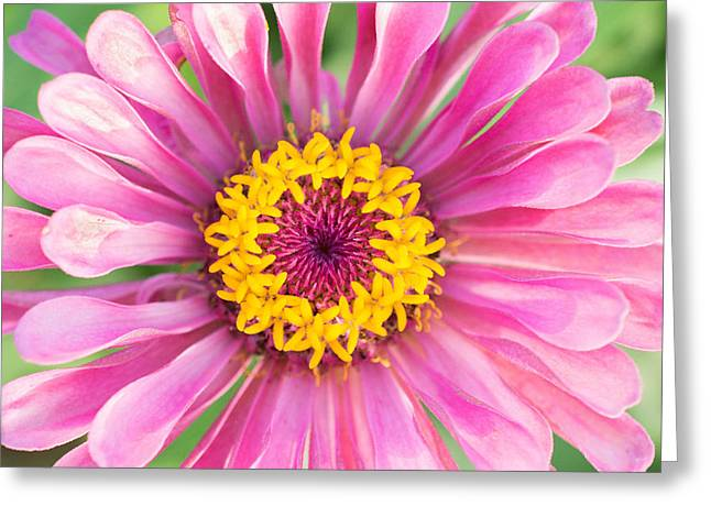 Hot Pink Zinnia Greeting Card