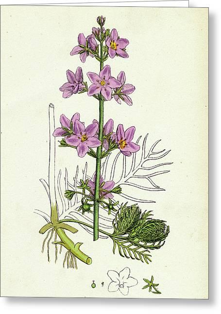 Hottonia Palustris Water-violet Greeting Card
