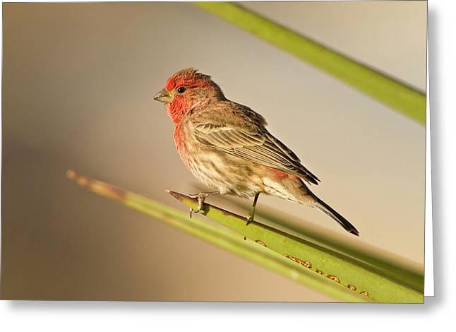 House Finch (carpodacus Mexicanus Greeting Card