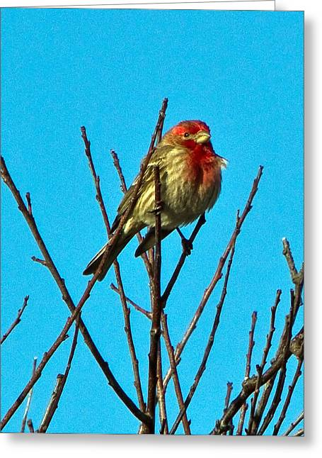 House Finch Greeting Card by Constantine Gregory