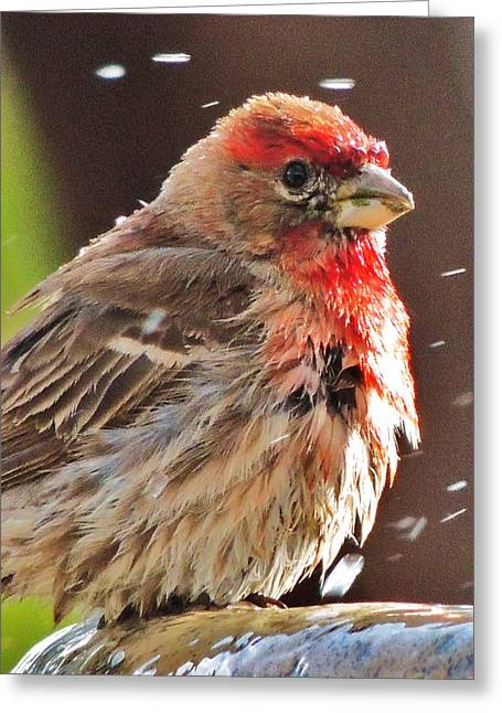House Finch Greeting Card by Helen Carson