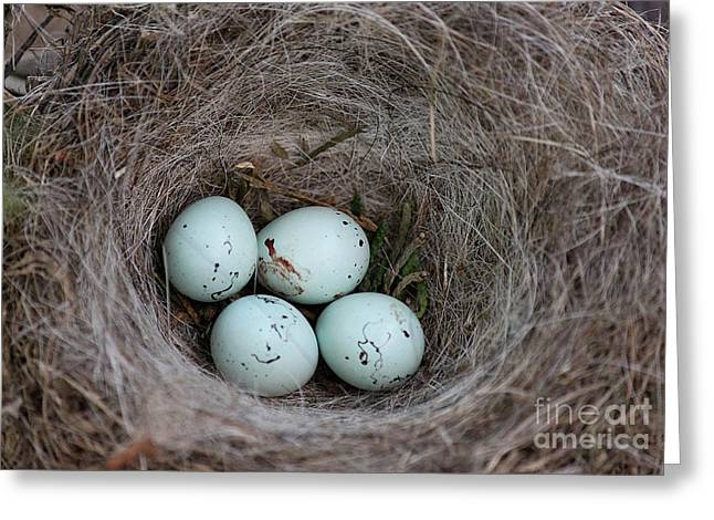 House Finch Nest Greeting Card