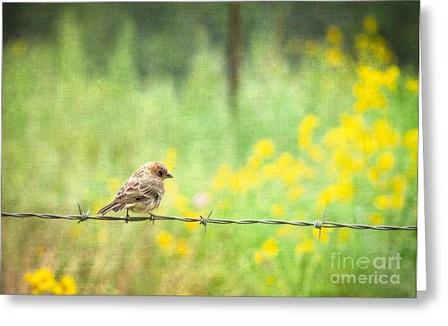 House Finch On Barbed Wire Greeting Card by Marianne Jensen
