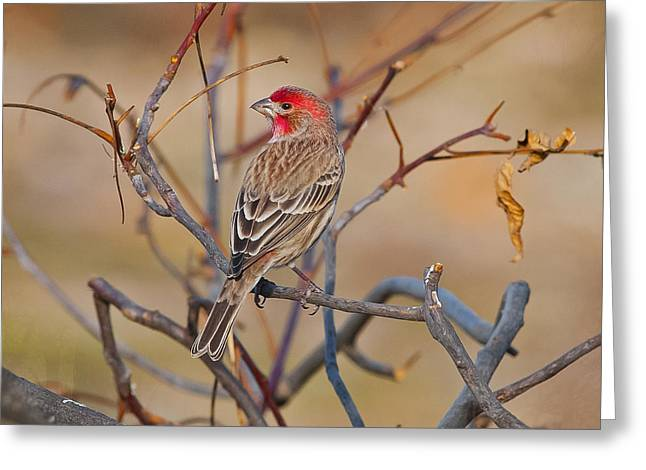 House Finch Singing His Song Greeting Card