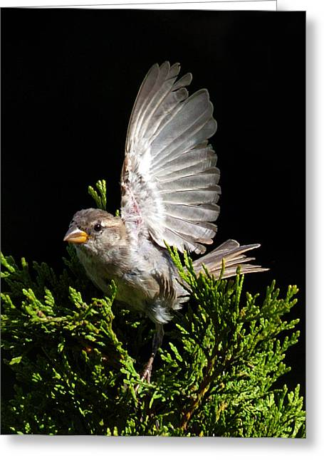 Greeting Card featuring the photograph House Sparrow by David Lester