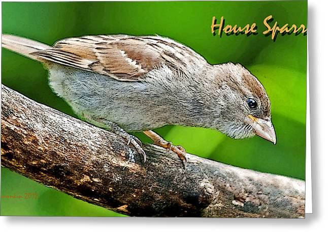 Greeting Card featuring the photograph House Sparrow Juvenile Poster Image by A Gurmankin