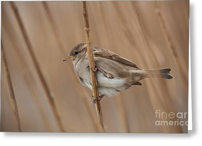 House Sparrow Passer Domesticus Greeting Card