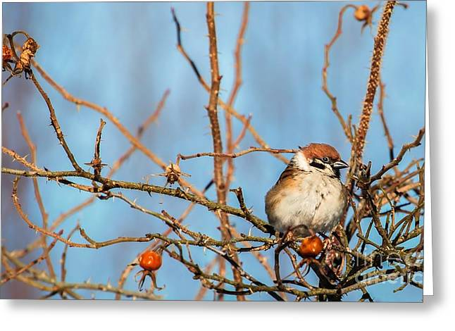 Greeting Card featuring the photograph House Sparrow by Rose-Maries Pictures