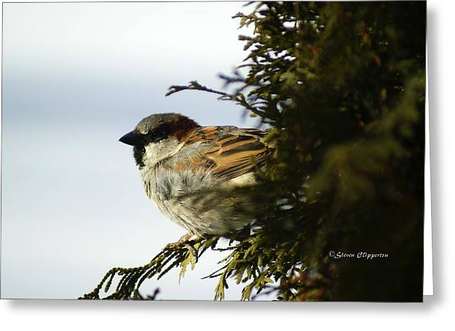 House Sparrow Greeting Card