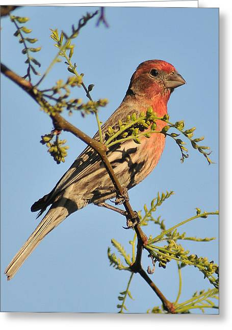 Housefinch 272 Greeting Card