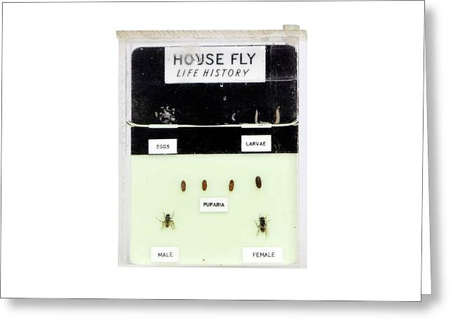 Housefly Life Cycle Greeting Card by Gregory Davies