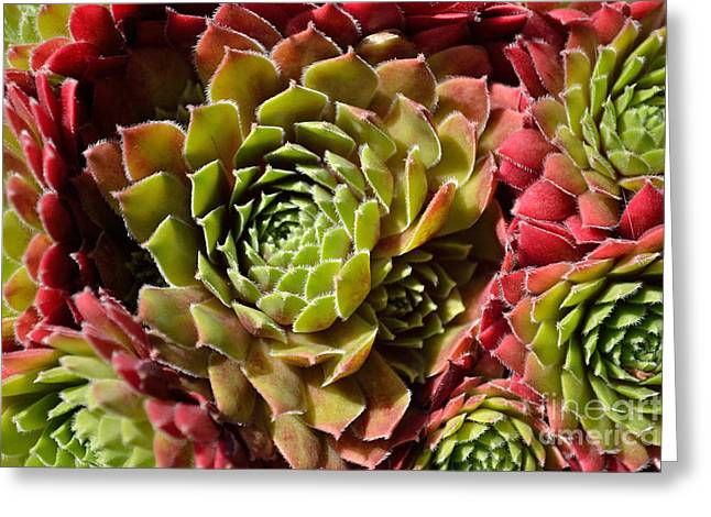 Houseleek Group Greeting Card by Scott Lyons