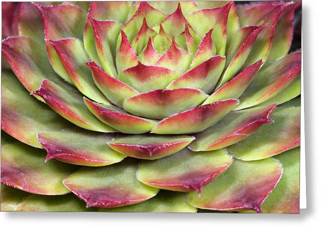 Houseleek Leaves Abstract Greeting Card