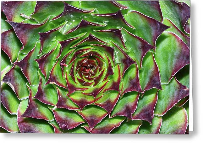 Houseleek (sempervivum Tectorum) Greeting Card