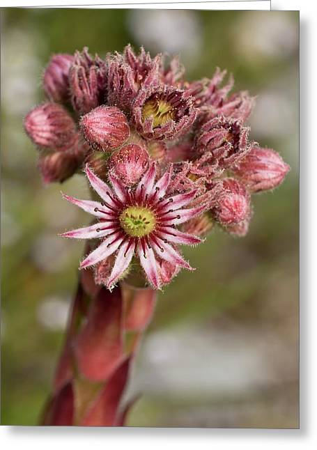 Houseleek (sempervivum Tectorum) Flowers Greeting Card