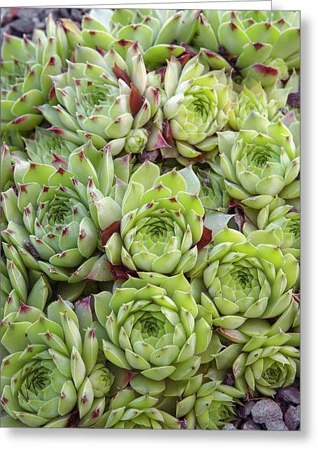 Houseleek (sempervivum 'tip Top') Greeting Card by Adrian Thomas/science Photo Library