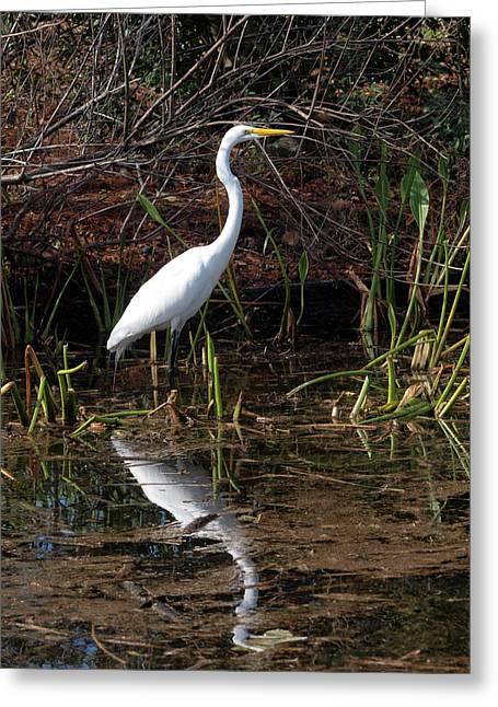 Houston Wildlife Great White Egret Greeting Card by Joshua House