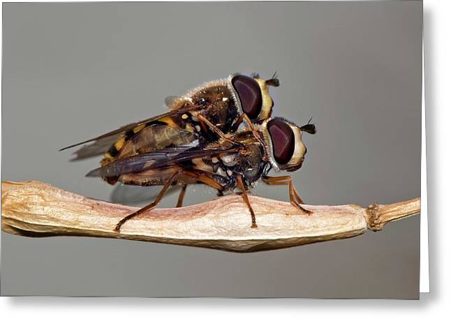 Hover Flies Mating Greeting Card by Dr. John Brackenbury/science Photo Library