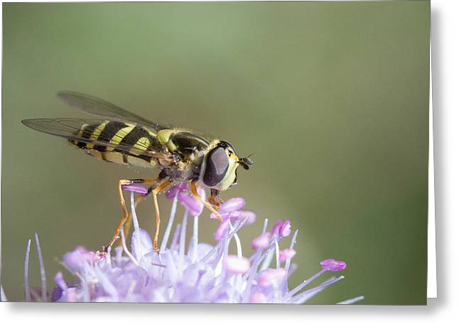 Greeting Card featuring the photograph Hoverefly - Syrphus Vitripennis by Jivko Nakev