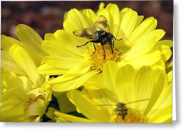 Hoverfly Greeting Card by Christina Rollo
