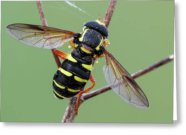 Hoverfly Greeting Card by Heath Mcdonald