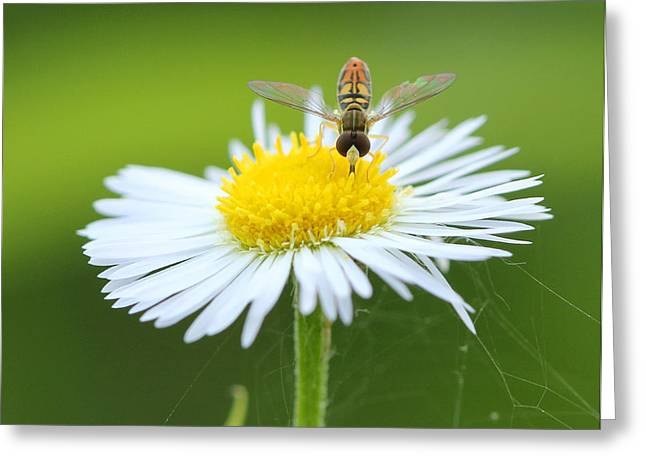 Hoverfly On Flower Greeting Card by Brian Magnier