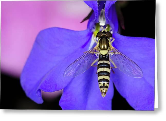 Hoverfly Sphaerophoria Scripta Greeting Card